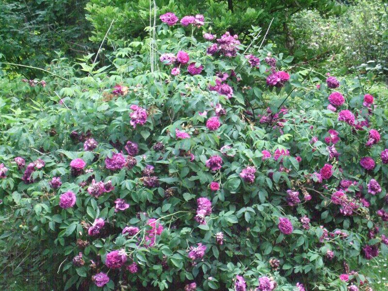 CHARLES de MILLS     : Gallique arbuste Dscf2811