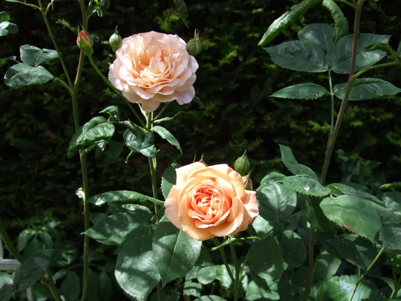 Roses anglaises Leande15