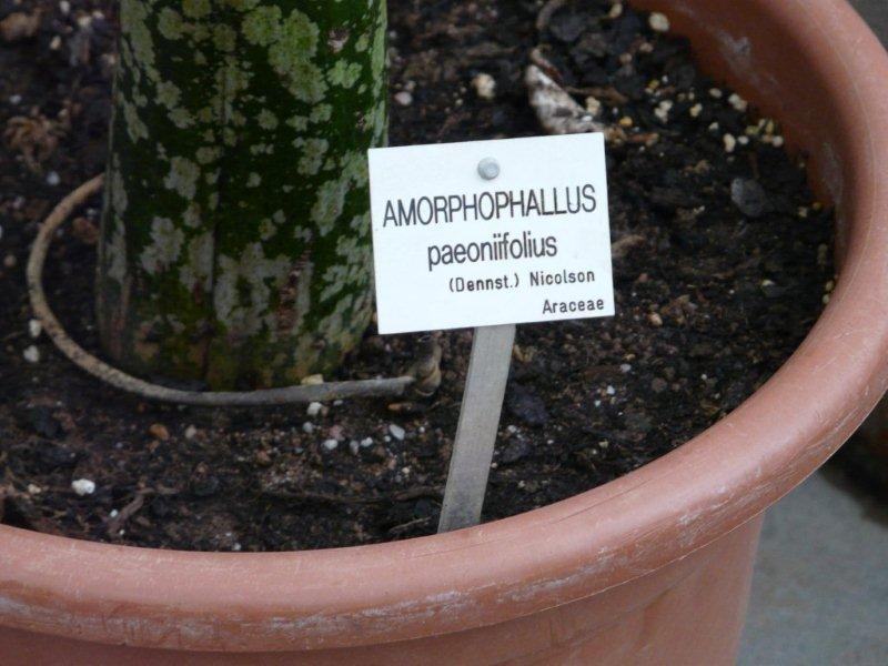 Amorphophallus Jardin16