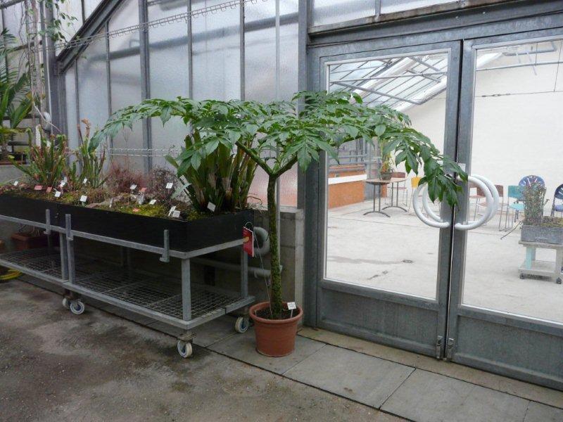 Amorphophallus Jardin17