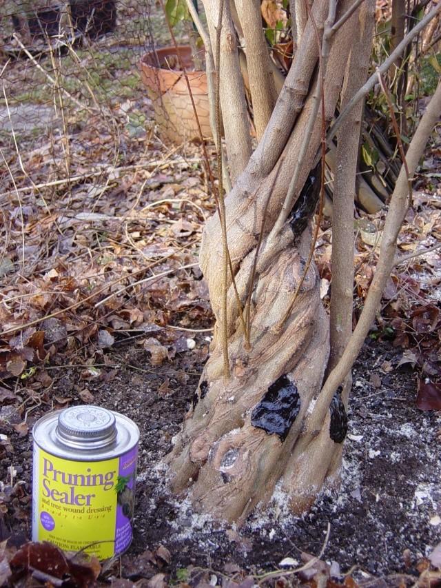 Fused-trunk Trident, Acer buergerianum Dsc02517