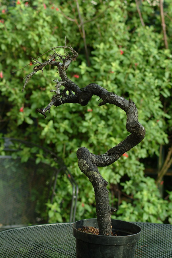 Another blackthorn Snake10