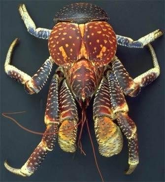 Coconut crab (Birgus latro) Ba_bir10