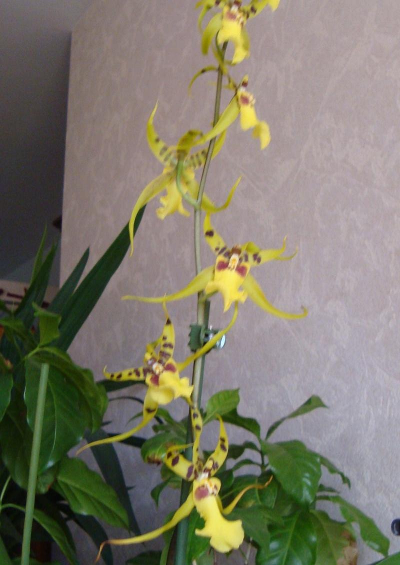 Orchidée 'Odontoglossum Vuylstekeara Cambria' Orchid10