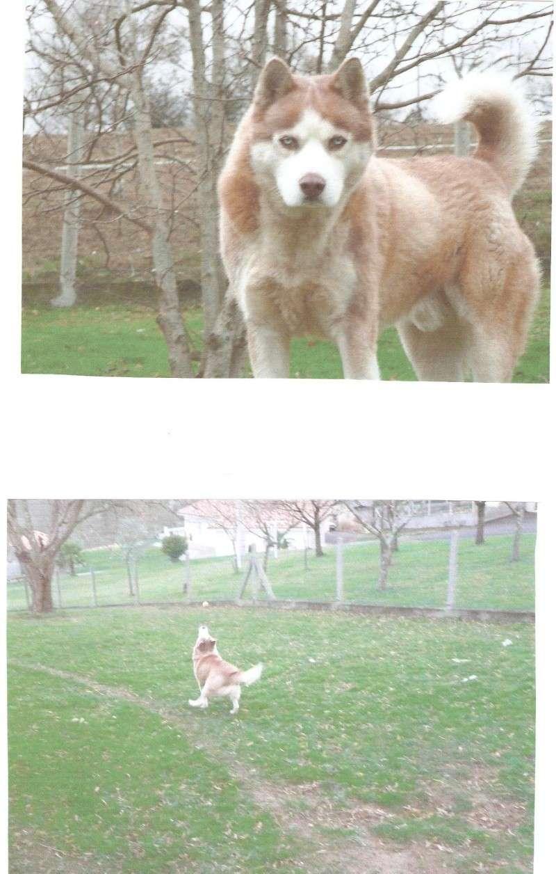 SNIPPER Husky mâle de 6 ans DECEDE Snippe11