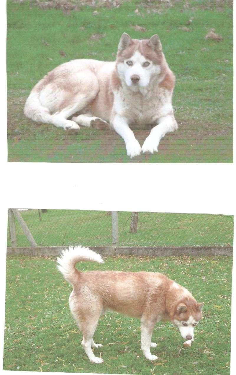 SNIPPER Husky mâle de 6 ans DECEDE Snippe12