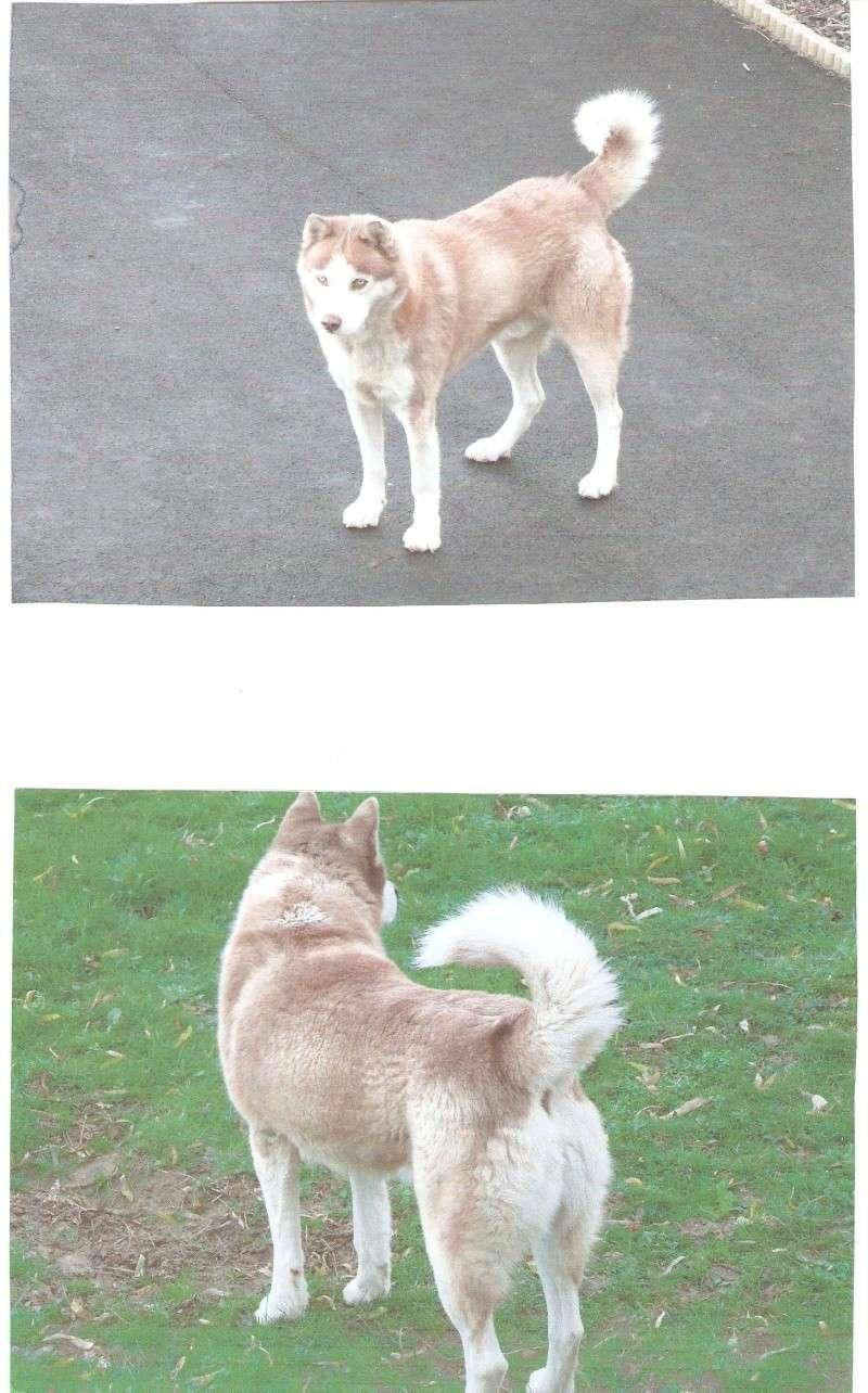 SNIPPER Husky mâle de 6 ans DECEDE Snippe13