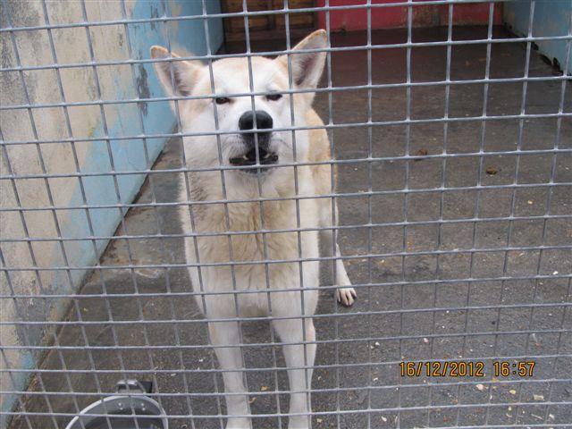 FRISKEES - husky 10 ans - Refuge de l'Esperance à Appeville Annebault (27) Photo_17