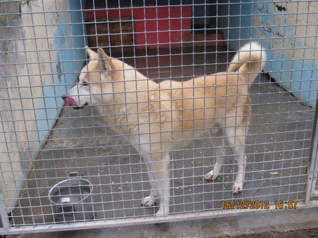 FRISKEES - husky 10 ans - Refuge de l'Esperance à Appeville Annebault (27) Photo_18