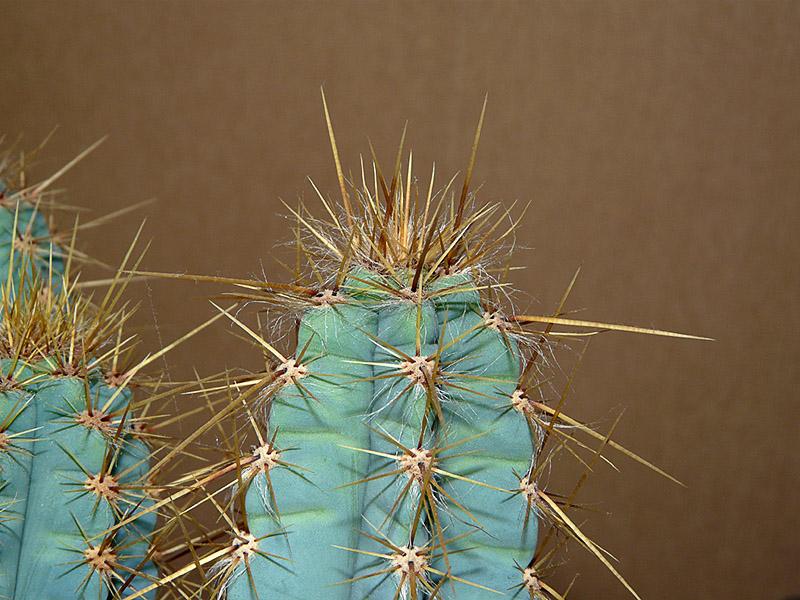 IDENTIFICATION  CEREUS (Pilosocereus pachycladus subs. pachycladus ou cereus azureus ) P1040010