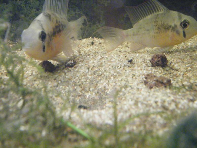 Mikrogeophagus altispinosa. Novemb11