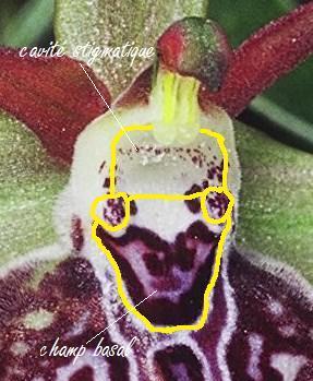 Cavité stigmatique d'un ophrys : largeur et hauteur Champ_10