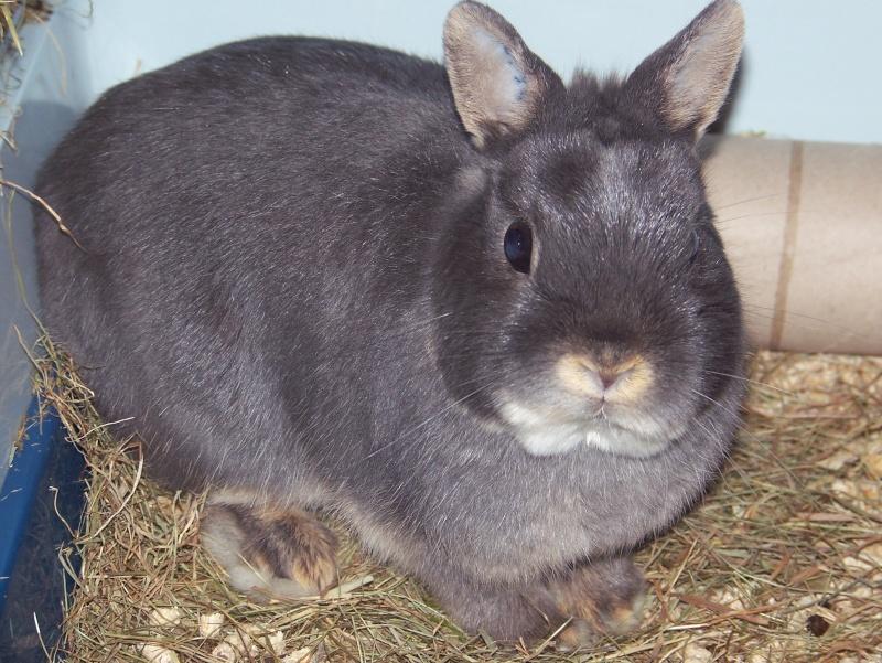 Tinou, lapin nain bleu,jeune 1_tino10