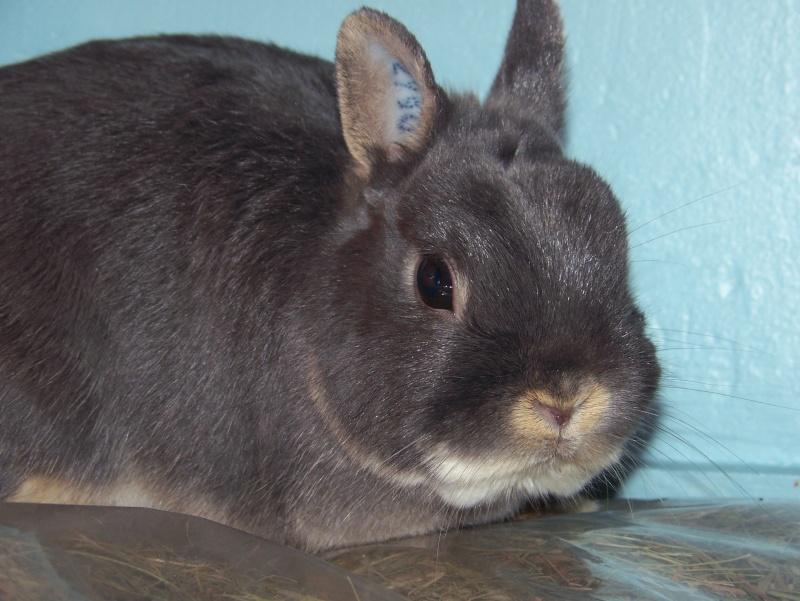Tinou, lapin nain bleu,jeune 4_tino10