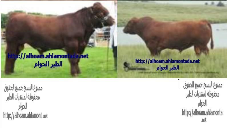 ماشية اللحم الجزء الاول 510