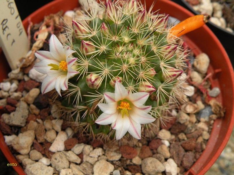 Mammillaria goodridgei Goodri12