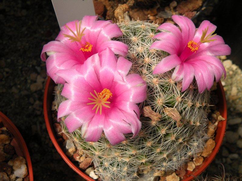 Mammillaria grahamii Graham12