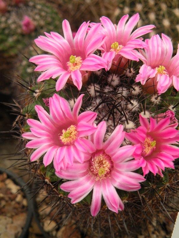 Mammillaria runyonii Melano12