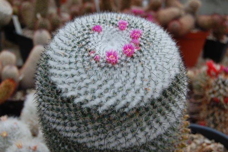 Mammillaria pseudoperbella Pseudo10