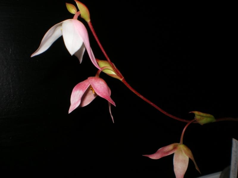Fleurs d'héliamphoras Vince_13