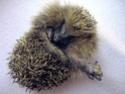How to tell if a hedgehog has a broken limb Leg_111