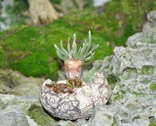 Rock planting named 'Pandora' Accent10