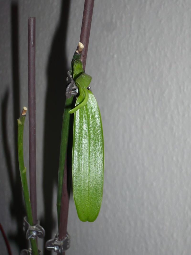 Phalaenopsis Hybrid Sämlinge  - Seite 2 P1050815