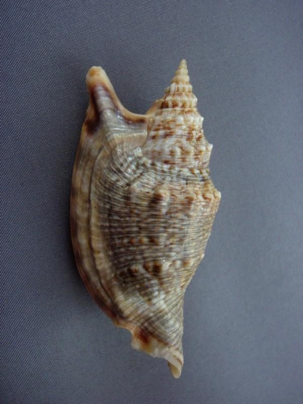 Euprotomus chrysostomus - (Kuroda, 1942) Catus_10
