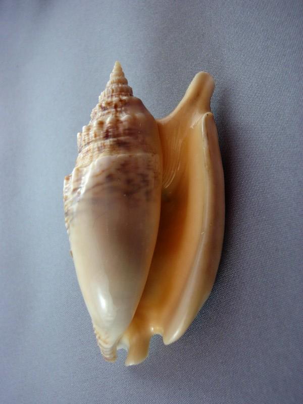 Euprotomus chrysostomus - (Kuroda, 1942) Catus_11