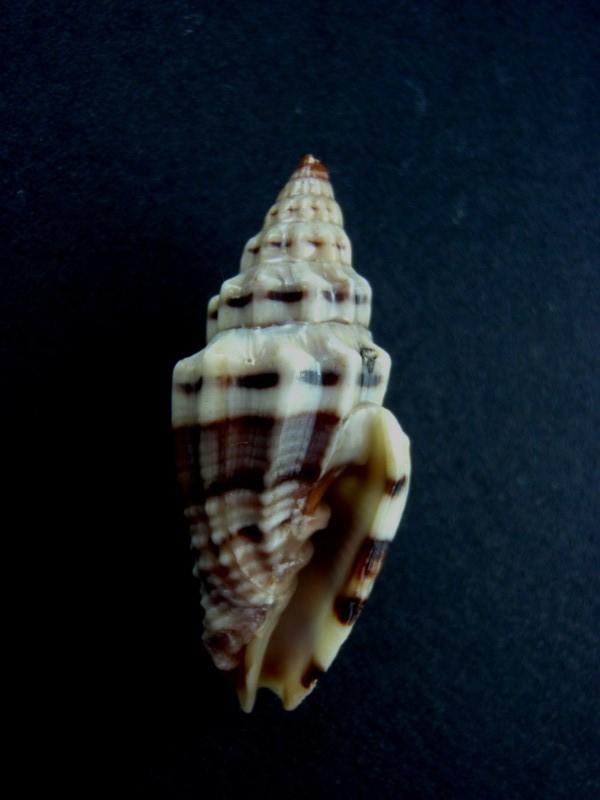Vexillum plicarium - (Linnaeus, 1758)  Catus_15