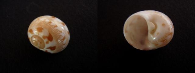 Tanea undulata - (Röding, 1798) Crocat13