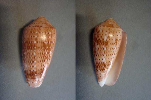 Conus (Pionoconus) floccatus   GB Sowerby I, 1841 - Page 4 Flocc_13
