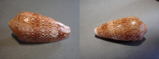 Conus (Pionoconus) floccatus   GB Sowerby I, 1841 - Page 4 Flocc_14