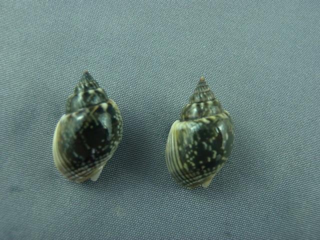 Nassarius graphiterus - (Hombron & Jacquinot, 1848) Stromb12