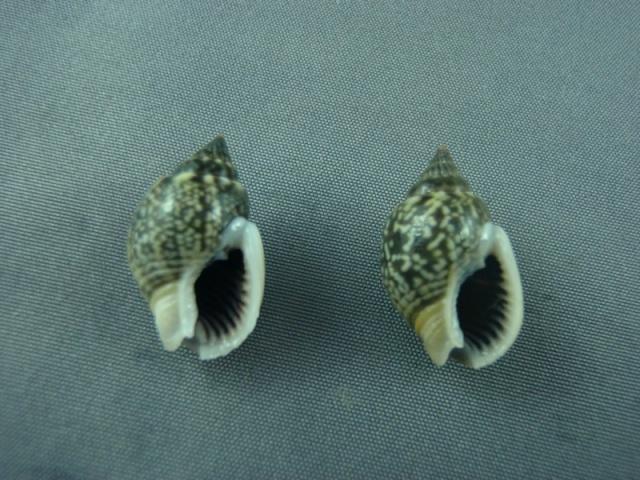 Nassarius graphiterus - (Hombron & Jacquinot, 1848) Stromb13