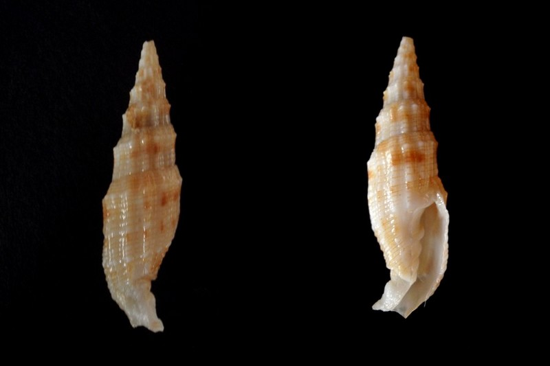 Vexillum gloriae - Poppe, Tagaro & Salisbury, 2009 Vexill10