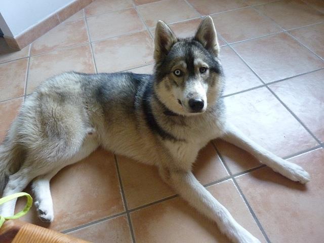 husky mâle yeux vairons trouvé entre Valence et Grenoble sur la commune de la Baume d'Hostun Husky_10