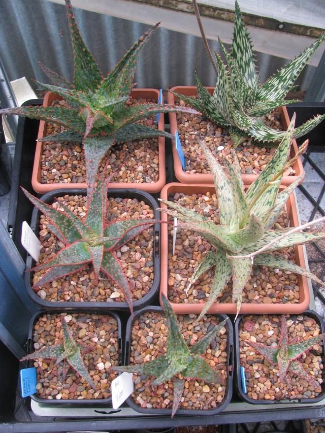 Aloe hybrids 16810