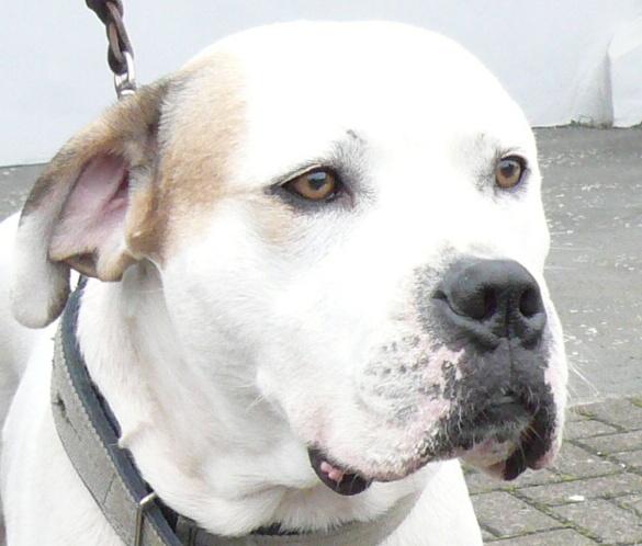 Le White English Bulldog, Ol Southern White  10010