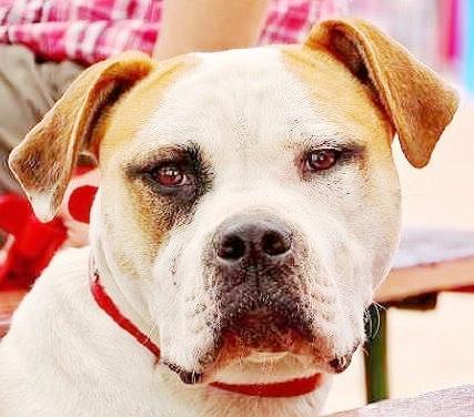 Le White English Bulldog, Ol Southern White  10011
