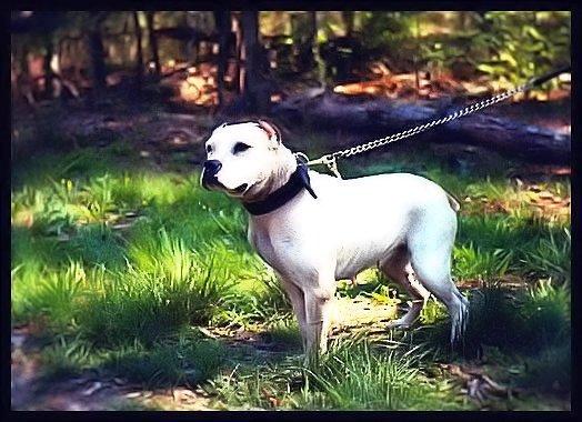 Le White English Bulldog, Ol Southern White  Stout_10