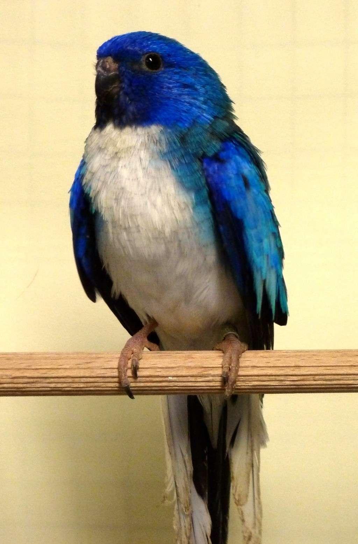 perruche splendide bleu poitrine blanche male P1070915