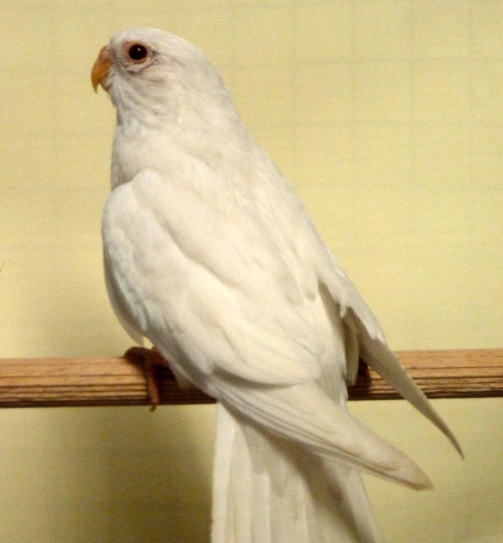 perruche splendide albino femelle P1070916