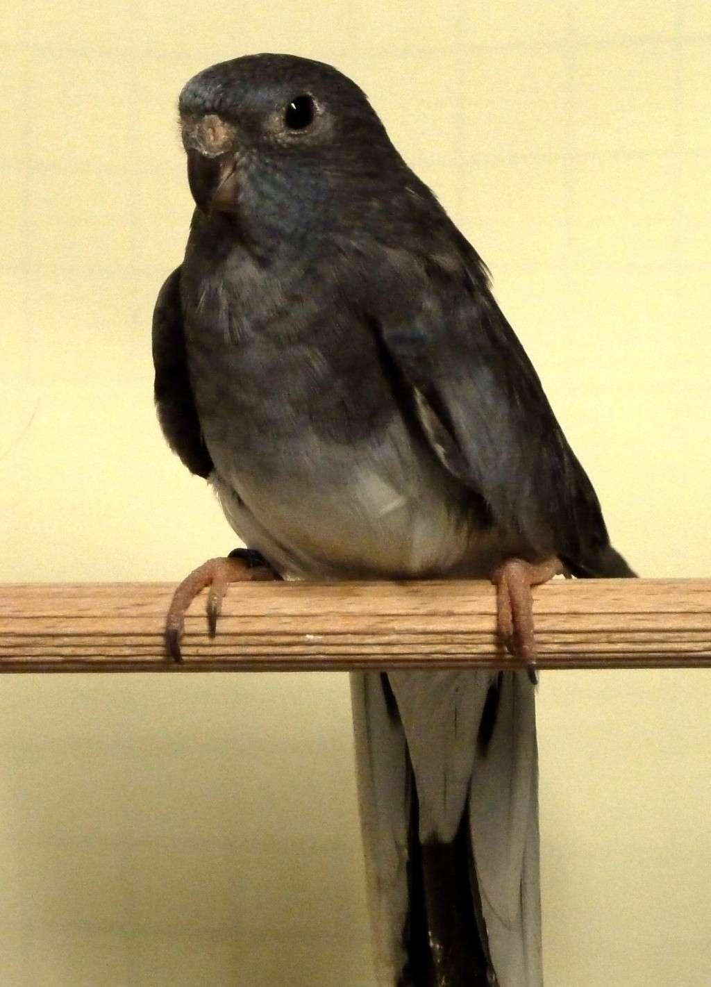 perruche splendide noir (=gris bleu) femelle et male (poitrine blanche) P1070917
