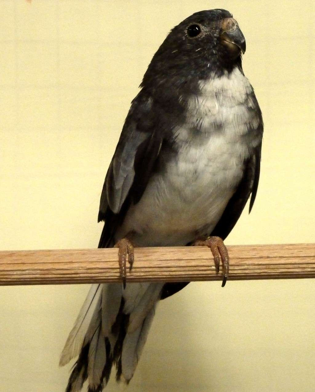 perruche splendide noir (=gris bleu) femelle et male (poitrine blanche) P1070918