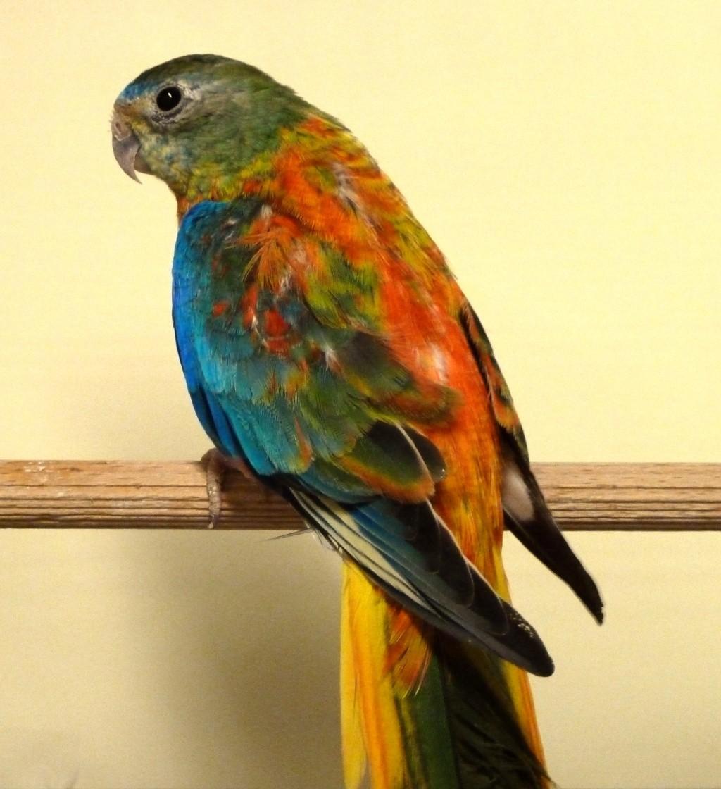 perruche turquoisine opaline ventre poitrine et dos rouge P1070923
