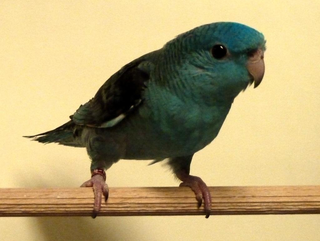 perruche toui catherine turquoise P1080012
