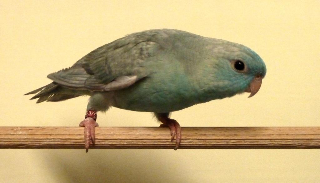 perruche toui catherine turquoise ailes grises P1080014