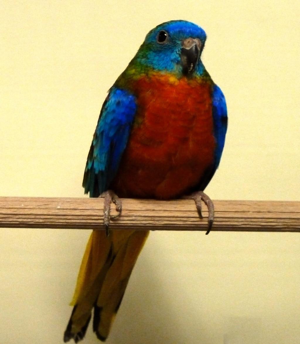 perruche turquoisine type sauvage ventre et poitrine rouge male P1080015