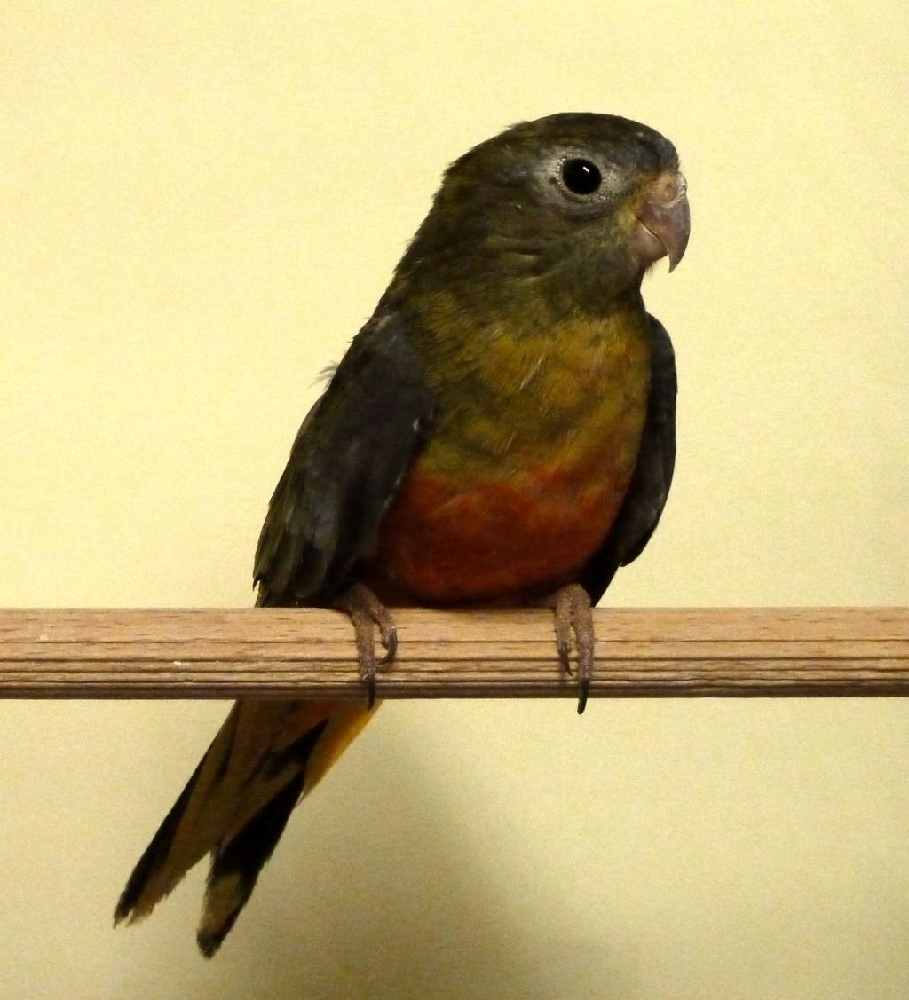 perruche turquoisine gris vert ventre et poitrine rouge femelle P1080018